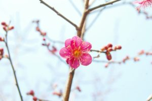 red plum, plum, spring flowers